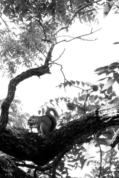 Black & White Squirrel